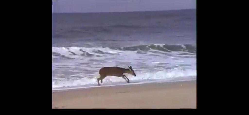 """""""Fake"""" video de Venado corriendo por supuestas playas de Mazatlán"""